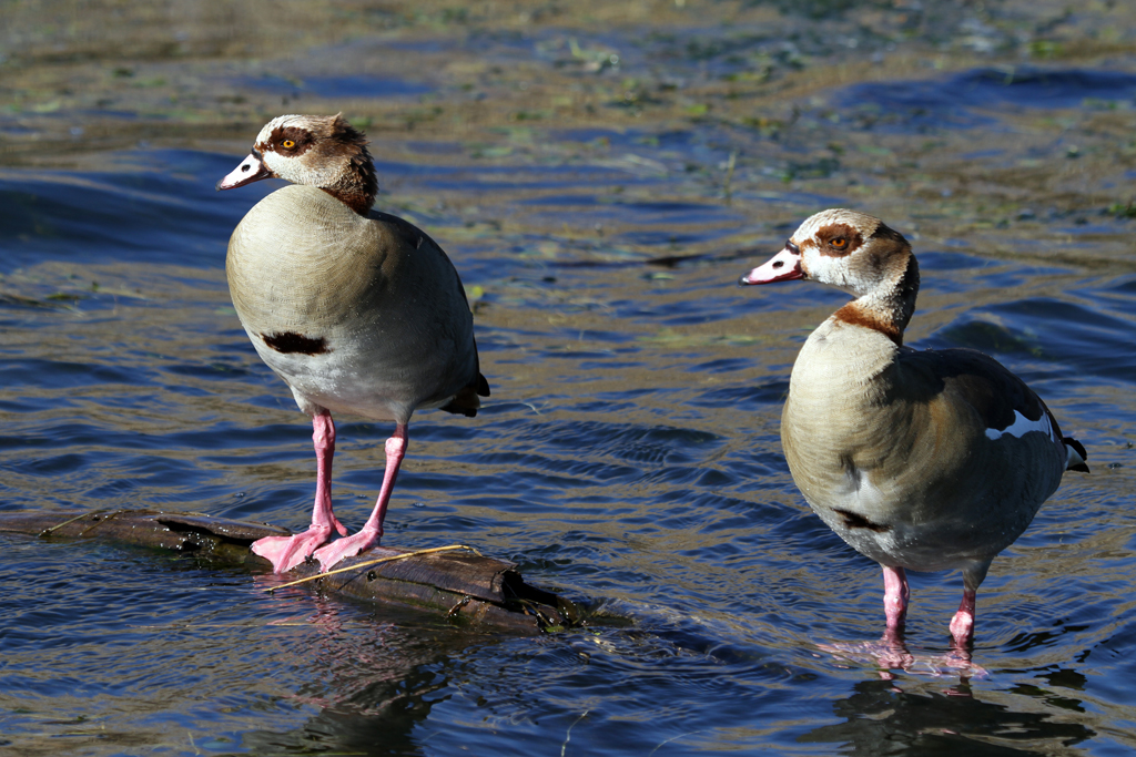 Egyptian Goose – male & female / Rietvlei Nature Reserve, South Africa / 01 July 2011