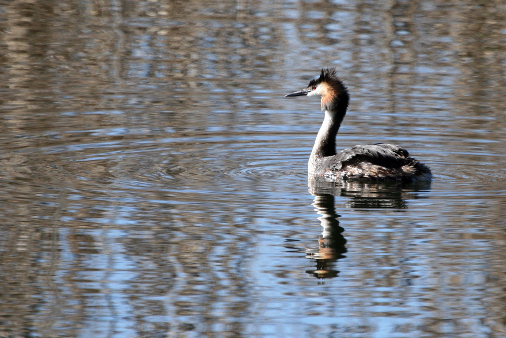 Great Crested Grebe / Rietvlei Nature Reserve, South Africa