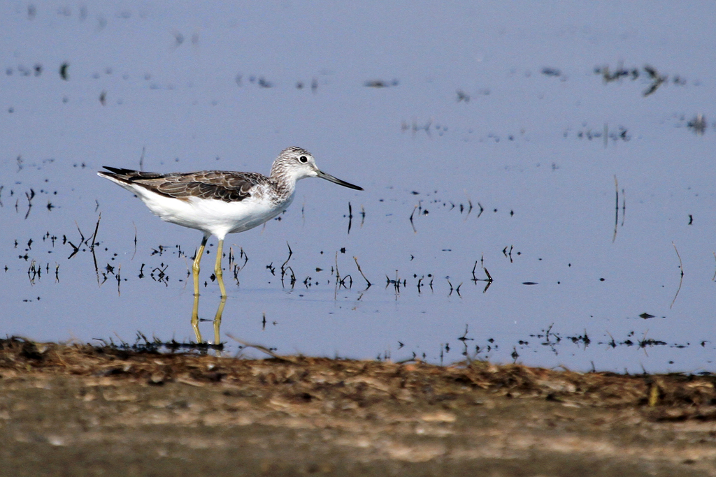 Common Greenshank / Mkhombo Dam Nature Reserve, South Africa
