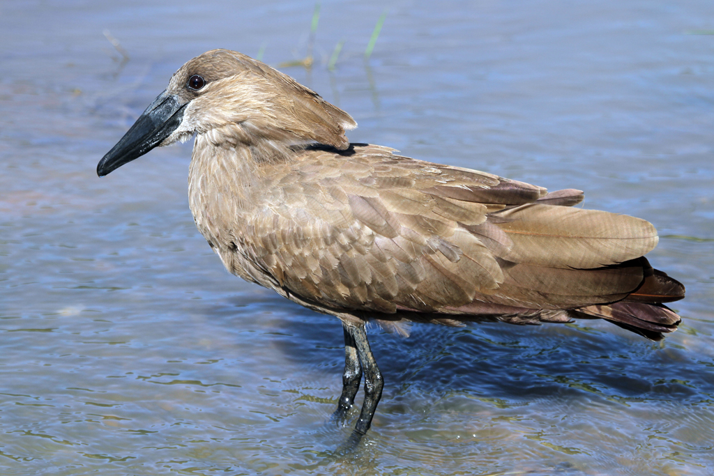 Hamerkop / Hluhluwe Game Reserve, South Africa