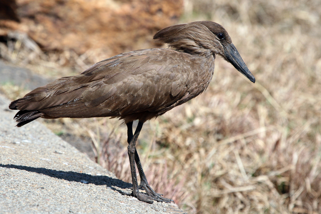 Hamerkop / Rietvlei Nature Reserve, South Africa