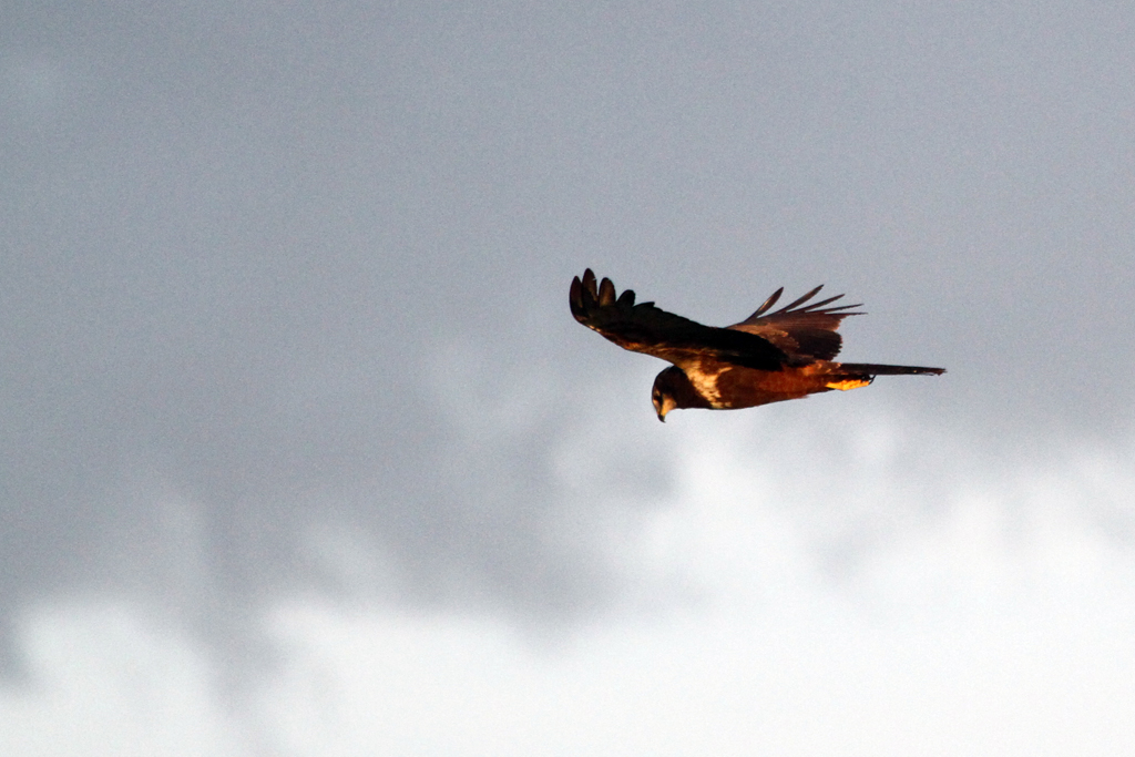 African Marsh Harrier / Marievale Bird Sanctuary, South Africa