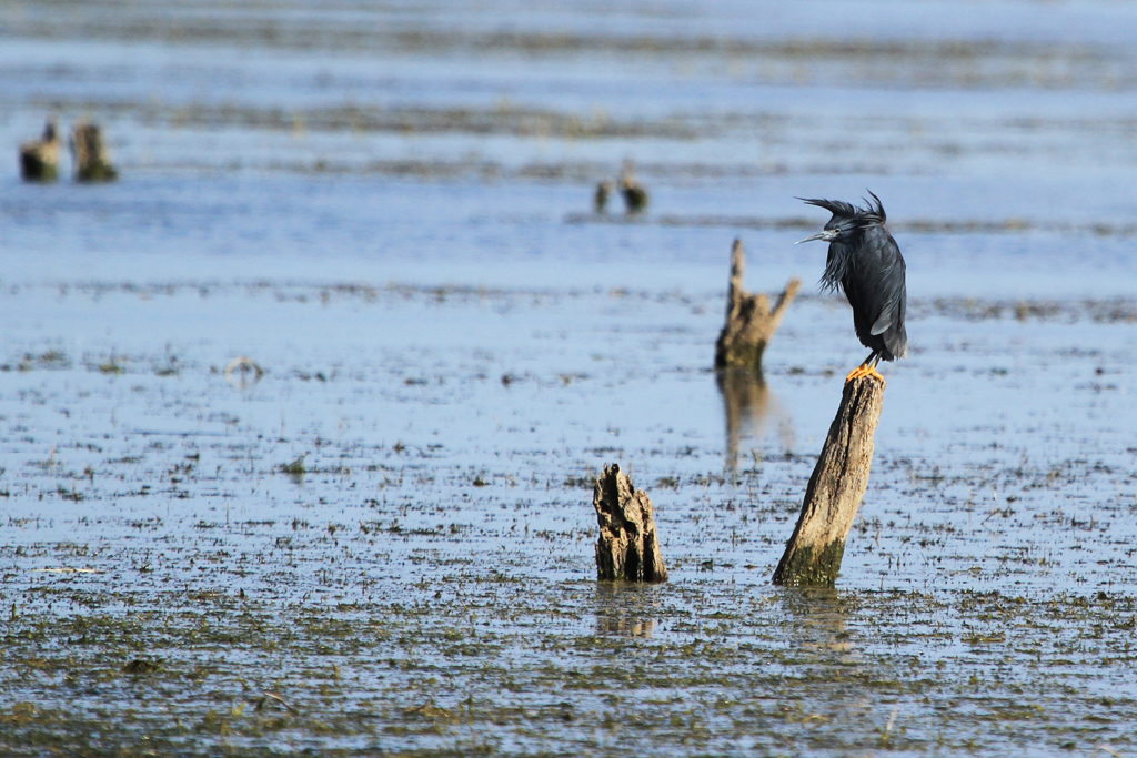 Black Heron / Mkhombo Dam Nature Reserve, South Africa / 26 October 2012