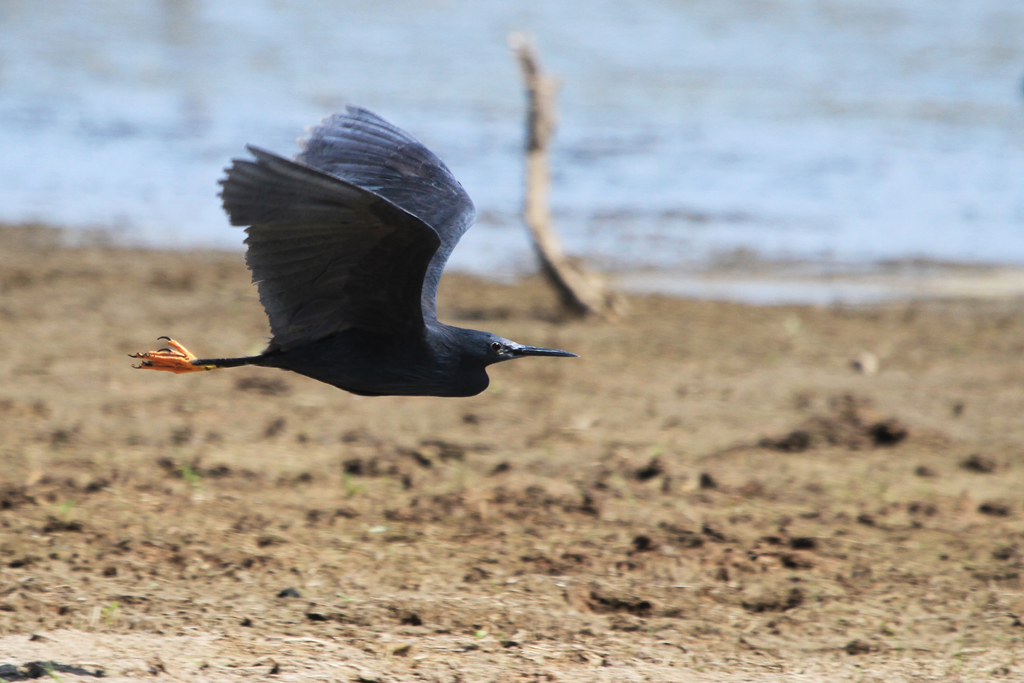 Black Heron / Mkhombo Dam Nature Reserve, South Africa