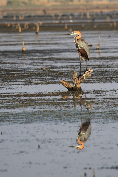 Goliath Heron / Mkhombo Dam Nature Reserve, South Africa