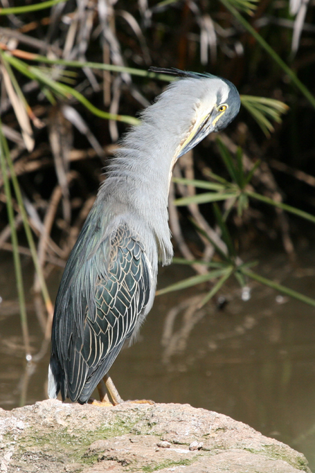 Green-backed Heron / Walter Sisulu, South Africa