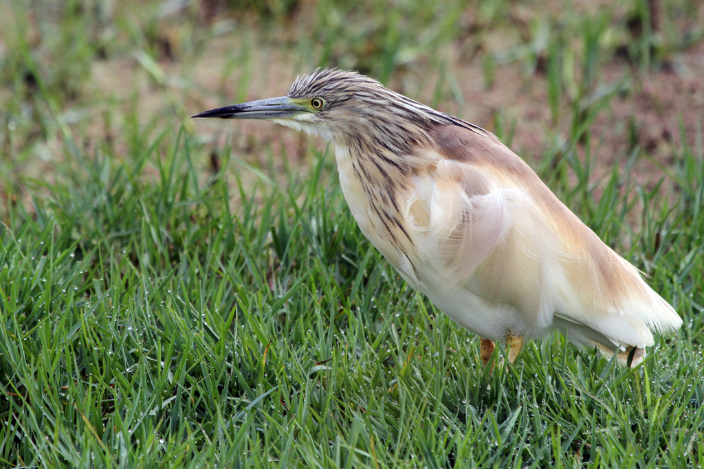 Squacco Heron / Marievale Bird Sanctuary, South Africa
