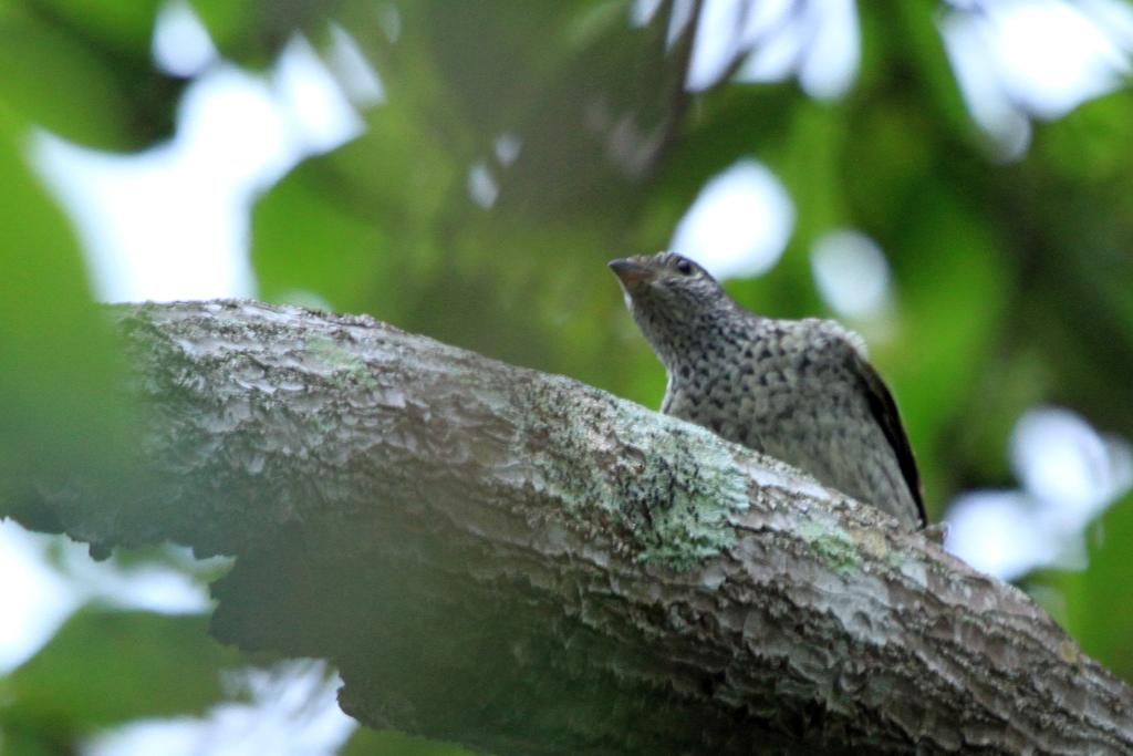 Scaly-throated Honeyguide / Ocean View, South Africa