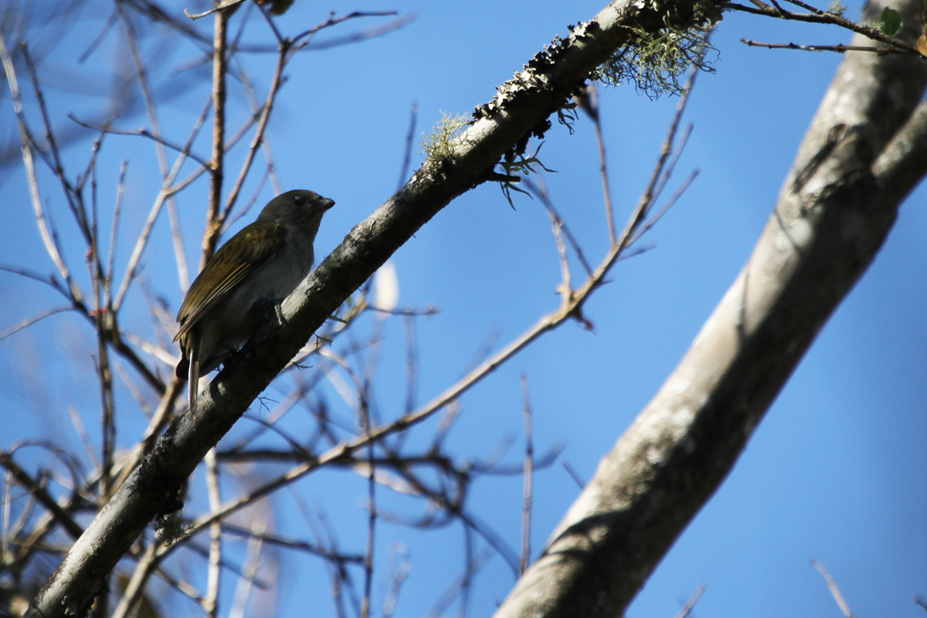 Scaly-throated Honeyguide / Soutpansberg Roodewal Forest, South Africa