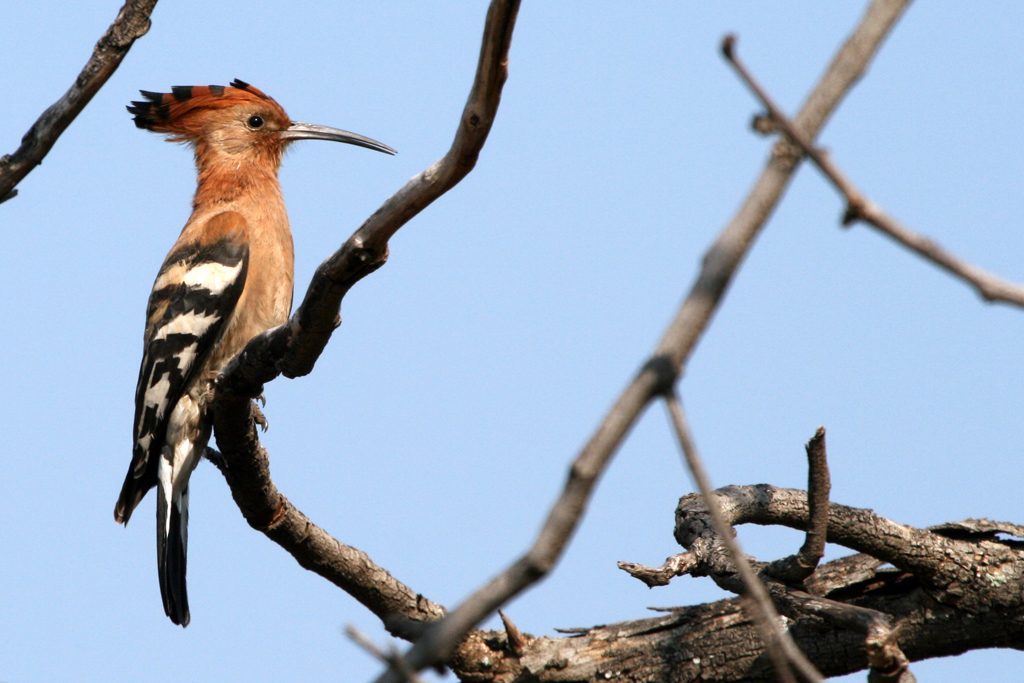 African Hoopoe / Roodeplaat Nature Reserve, South Africa