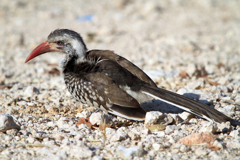 Red-billed Hornbill / Halali, Northern Namibia