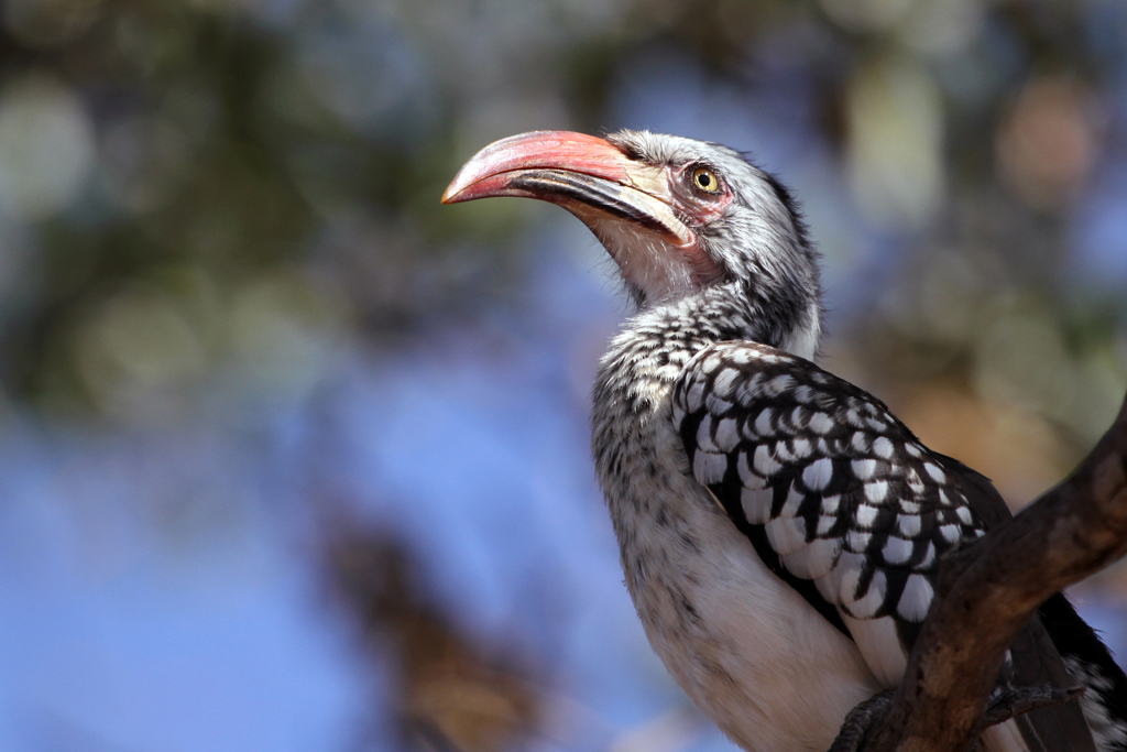 Red-billed Hornbill / Borakalelo National Park, South Africa