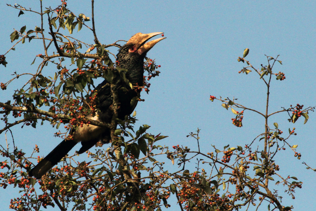 Silvery-cheeked Hornbill – female / Aberdares National Park, Kenya