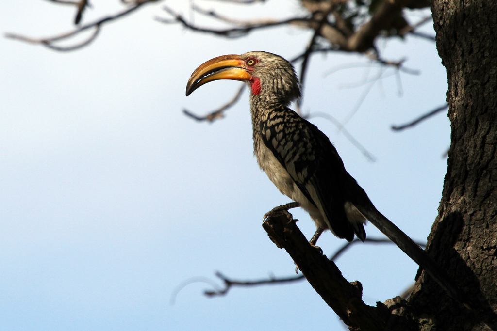 Southern Yellow-billed Hornbill / Waterberg, South Africa