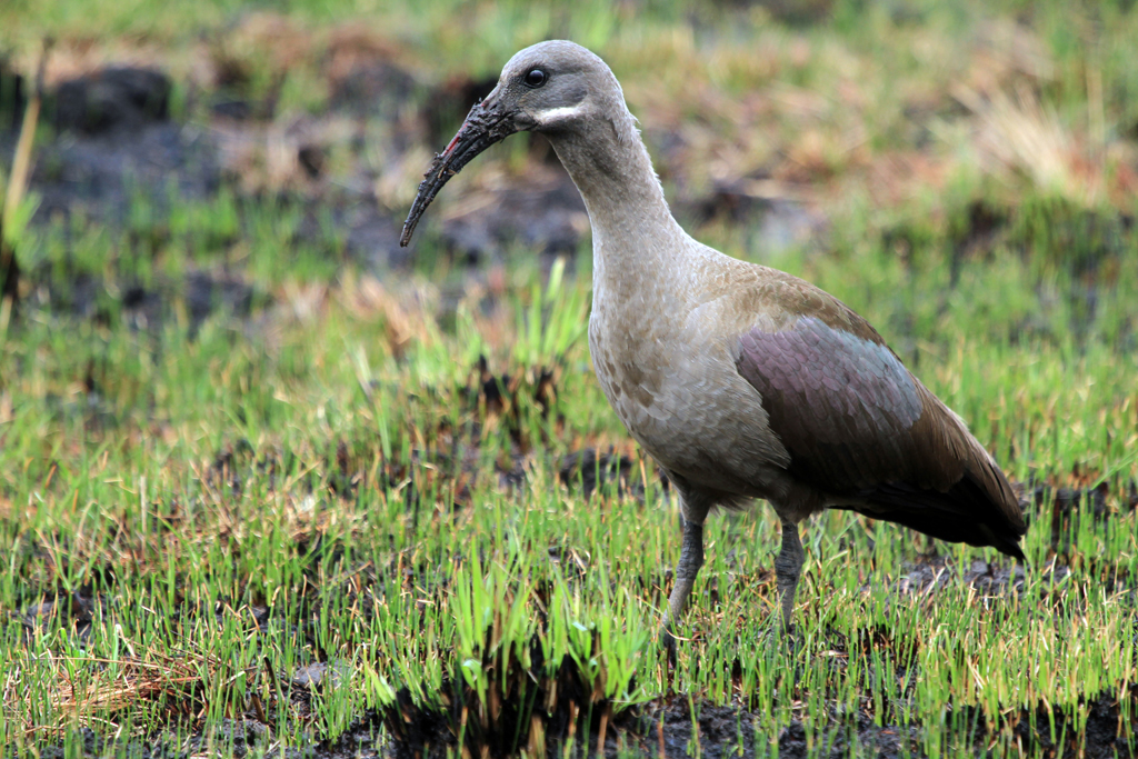 Hadeda Ibis / Rietvlei Nature Reserve, South Africa