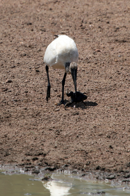 African Sacred Ibis / Borakalalo National Park, South Africa