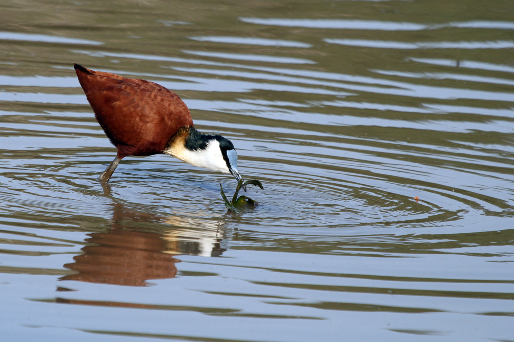African Jacana / Ndumo Game Reserve, South Africa / 18 September 2010