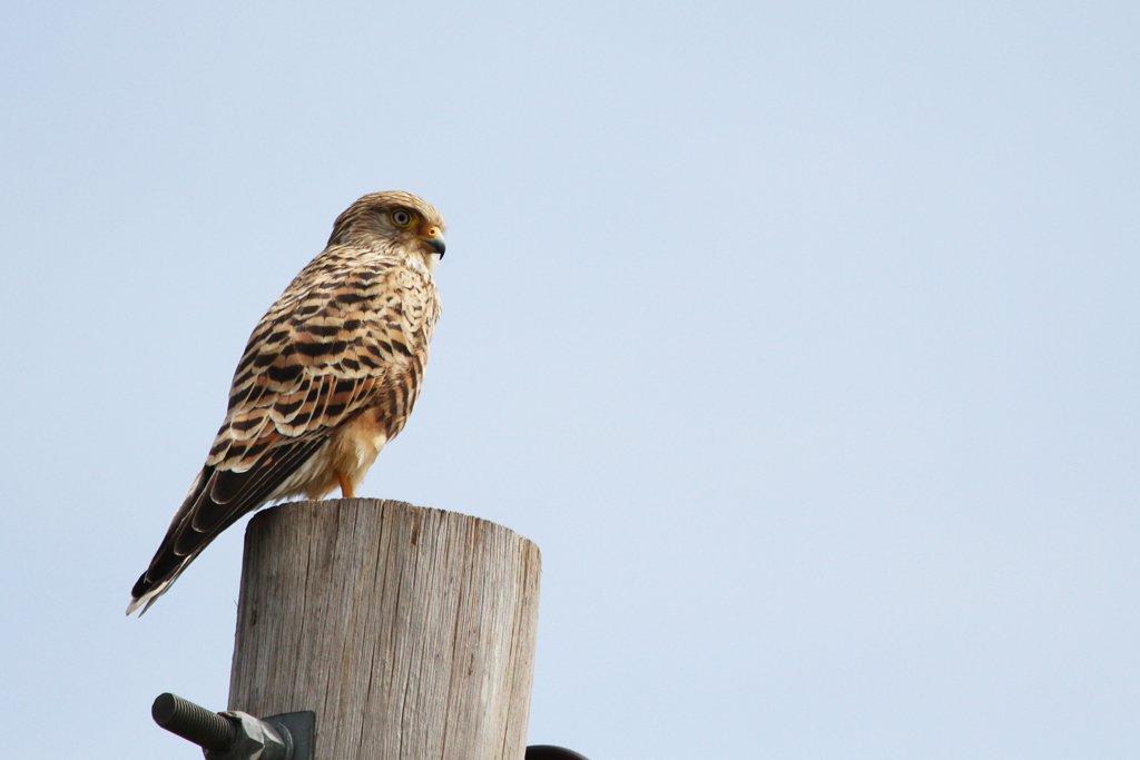 Greater Kestrel / Kgomo Kgomo, South Africa