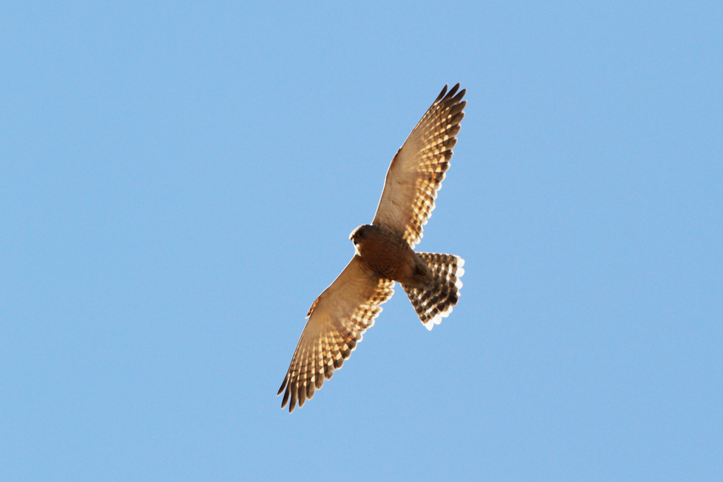 Greater Kestrel / Old Verdana Road, South Africa