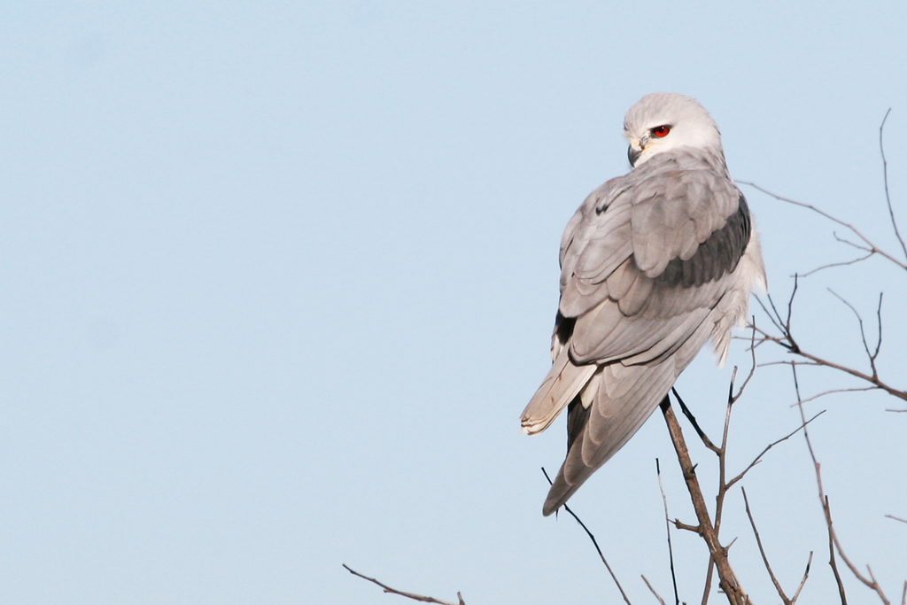 Black-shouldered Kite / Rietvlei Nature Reserve, South Africa