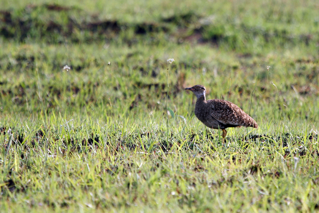 Northern Black Korhaan (Afraoides) – female / Rietvlei Nature Reserve, South Africa / 09 October 2010