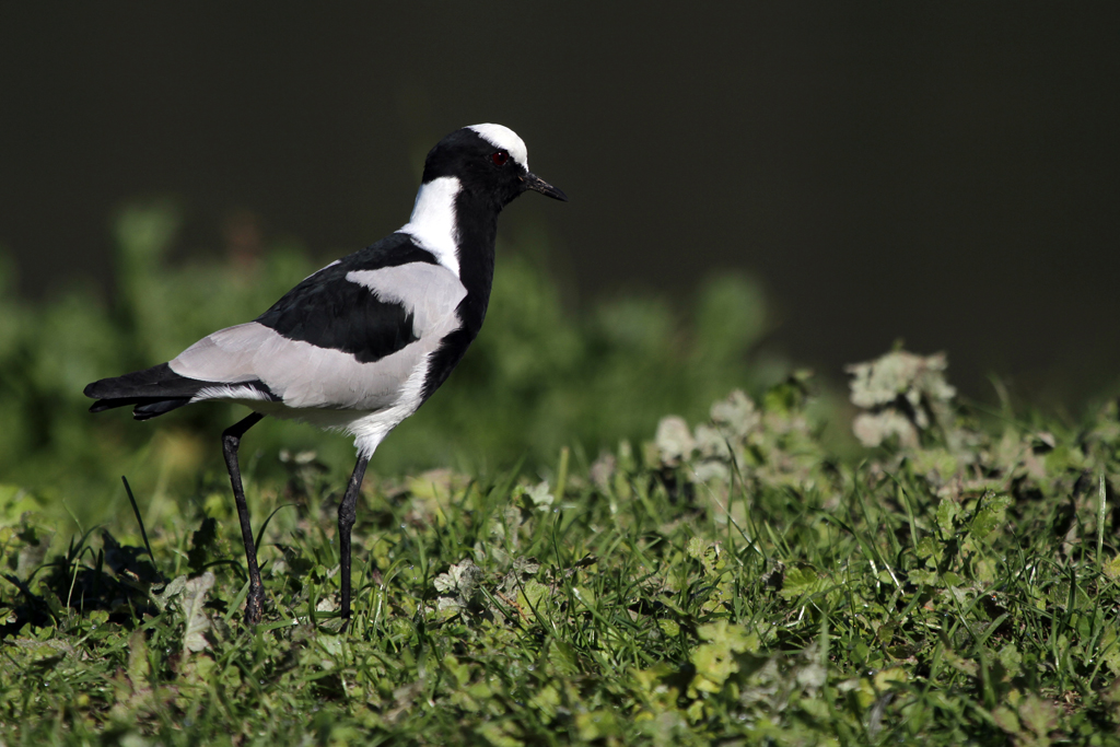 Blacksmith Lapwing / Leisure Island, Knysna, South Africa