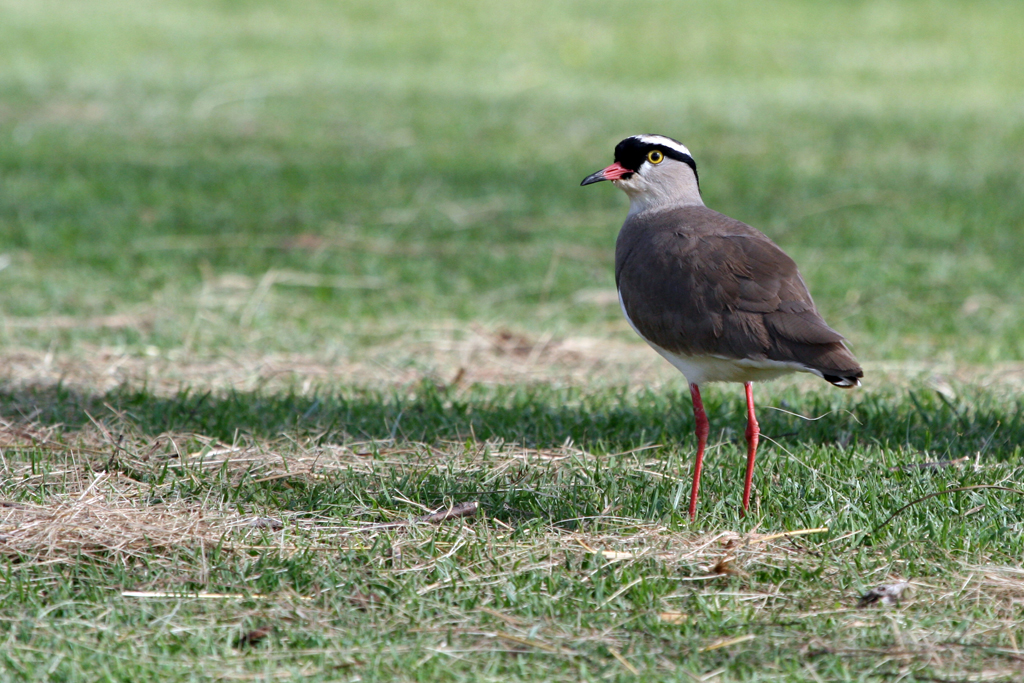 Crowned Lapwing / Walter Sisulu, South Africa