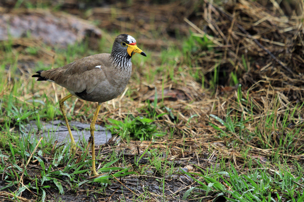 African Wattled Lapwing / Rietvlei Nature Reserve, South Africa