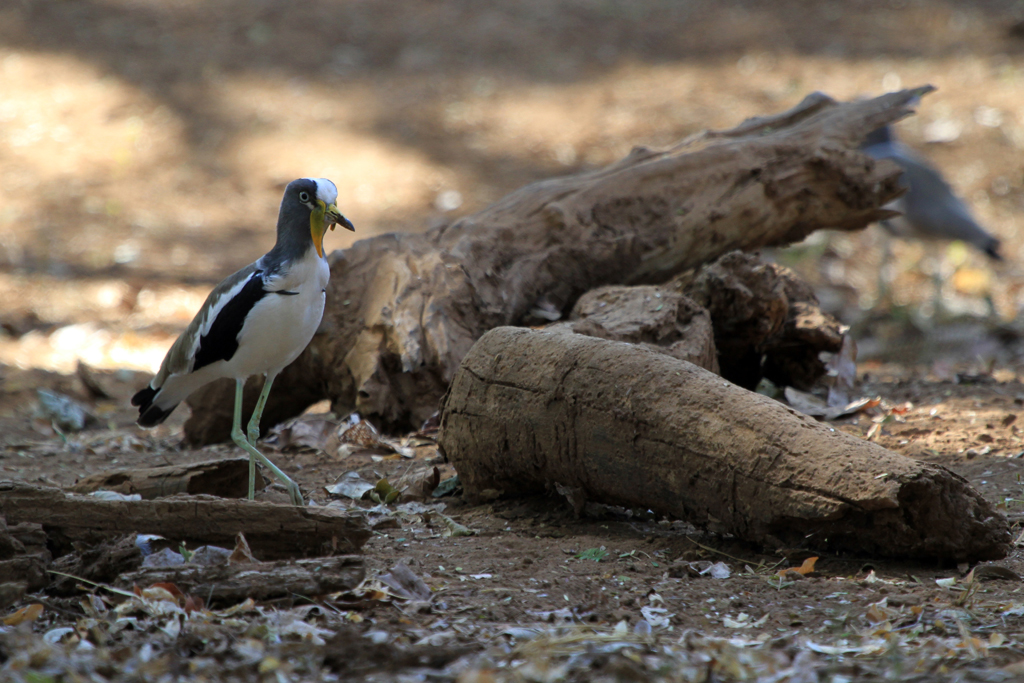 White-crowned Lapwing / Northern Kruger National Park, South Africa