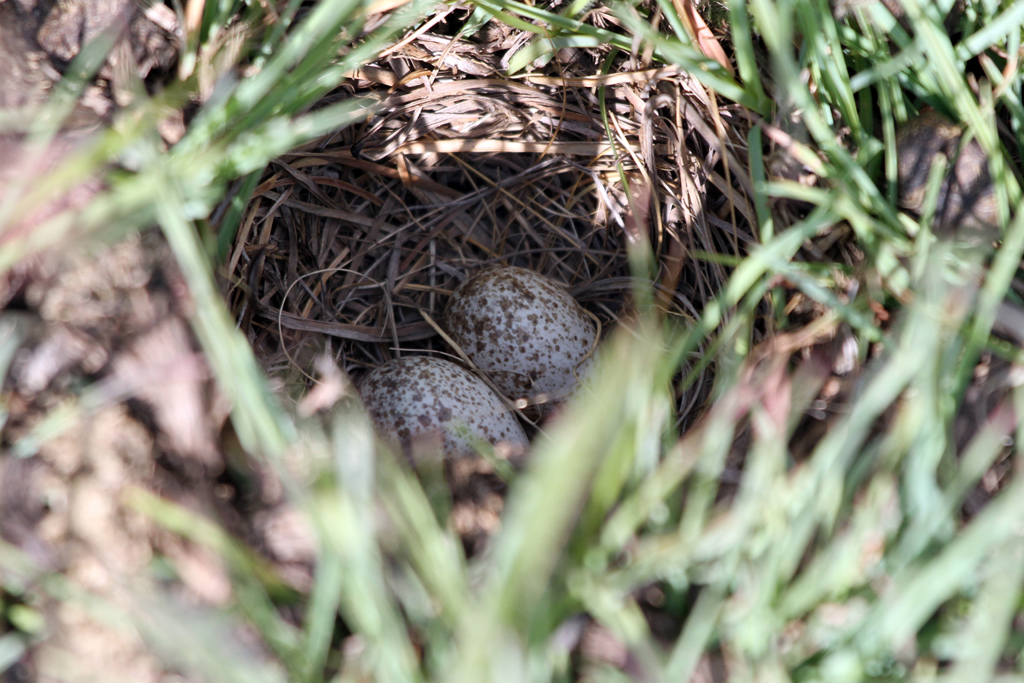 Botha's Lark (eggs) / Wakkerstroom, Mpumulanga, South Africa / 26 November 2011
