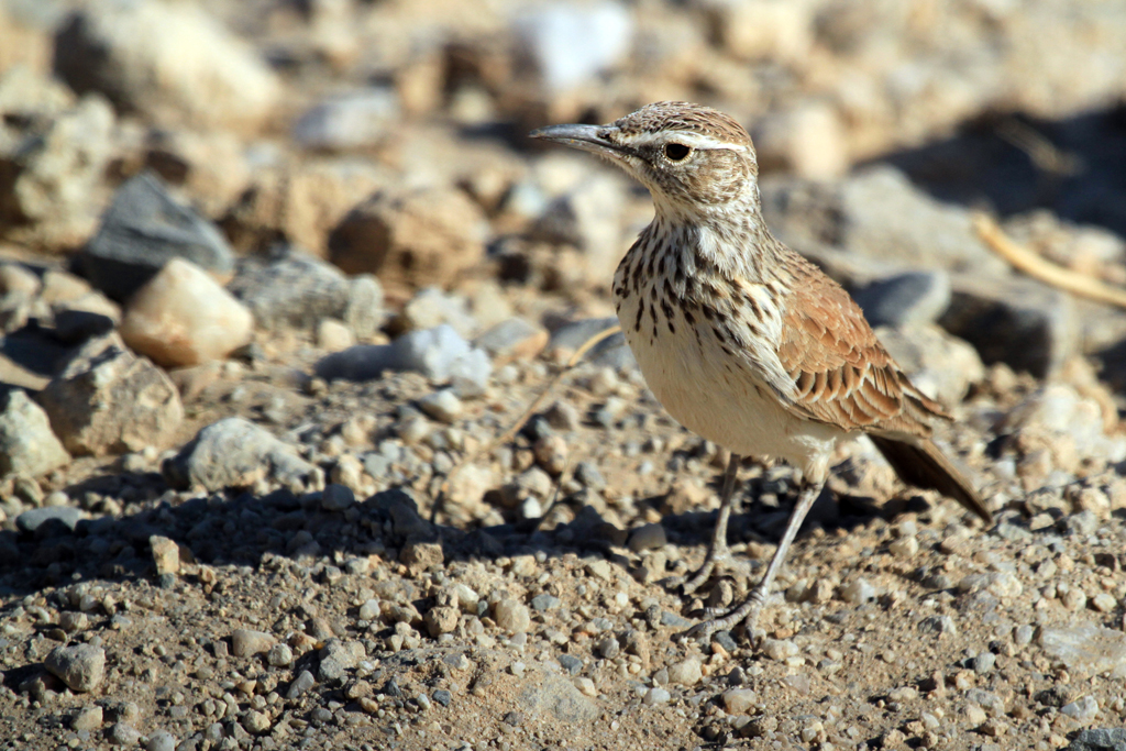 Karoo Long-billed Lark (Damarensis) / South of Brandberg, Northern Namibia