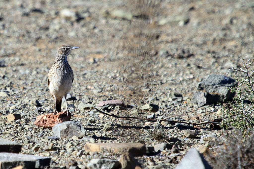 Karoo Long-billed Lark (Gilli) , Beeufort West, South Africa