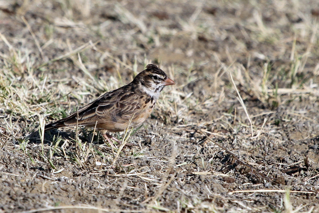 Pink-billed Lark (Conirostris) / Devon Roadside Routes, South Africa