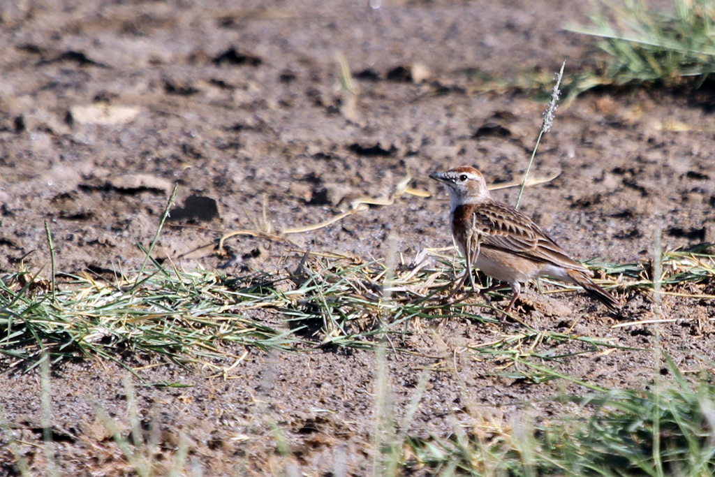 Red-capped Lark / Lake Nakuru, Kenya