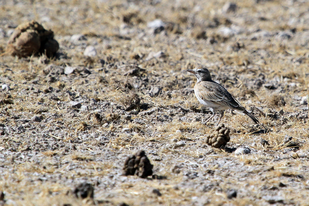 Red-capped Lark (Spleniata) / Etosha National Park, Northern Namibia
