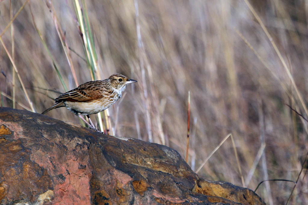 Rufous-naped Lark (Transvaalensis) / Dullstroom, South Africa