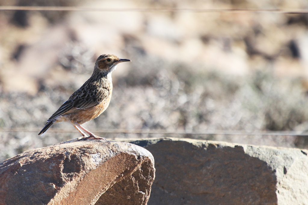 Spike-heeled Lark (Alticola) / Karoo National Park, South Africa