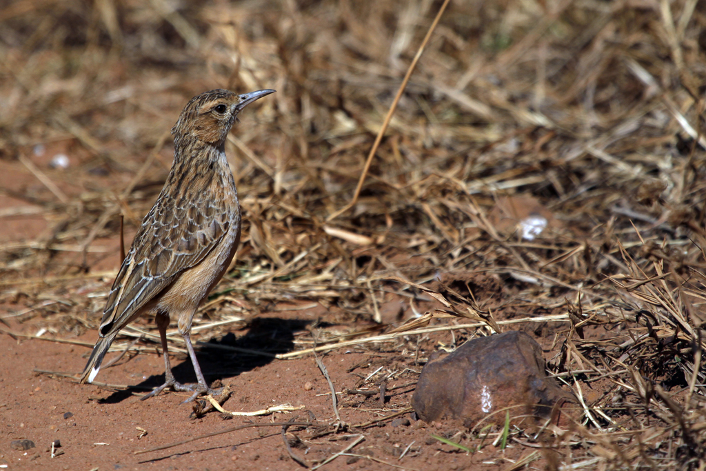 Spike-heeled Lark (Boweni) / Ezemvelo Nature Reserve, South Africa