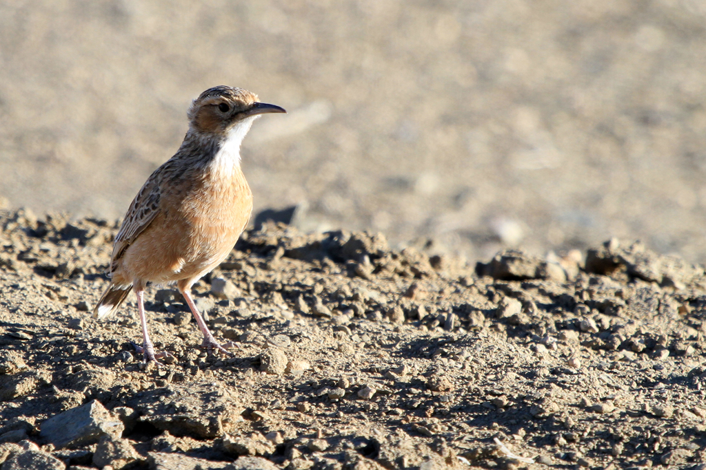Spike-heeled Lark (Bushmanensis) / Brandvlei Northern Cape, South Africa