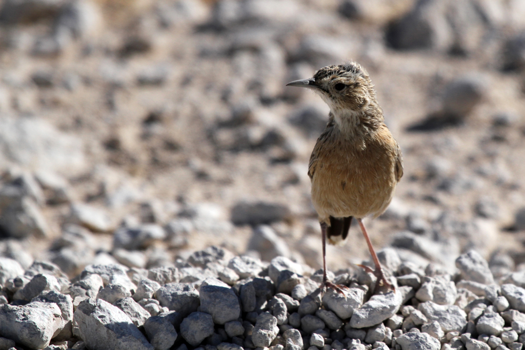 Spike-heeled Lark (Erikssoni) / Etosha National Park, Northern Namibia