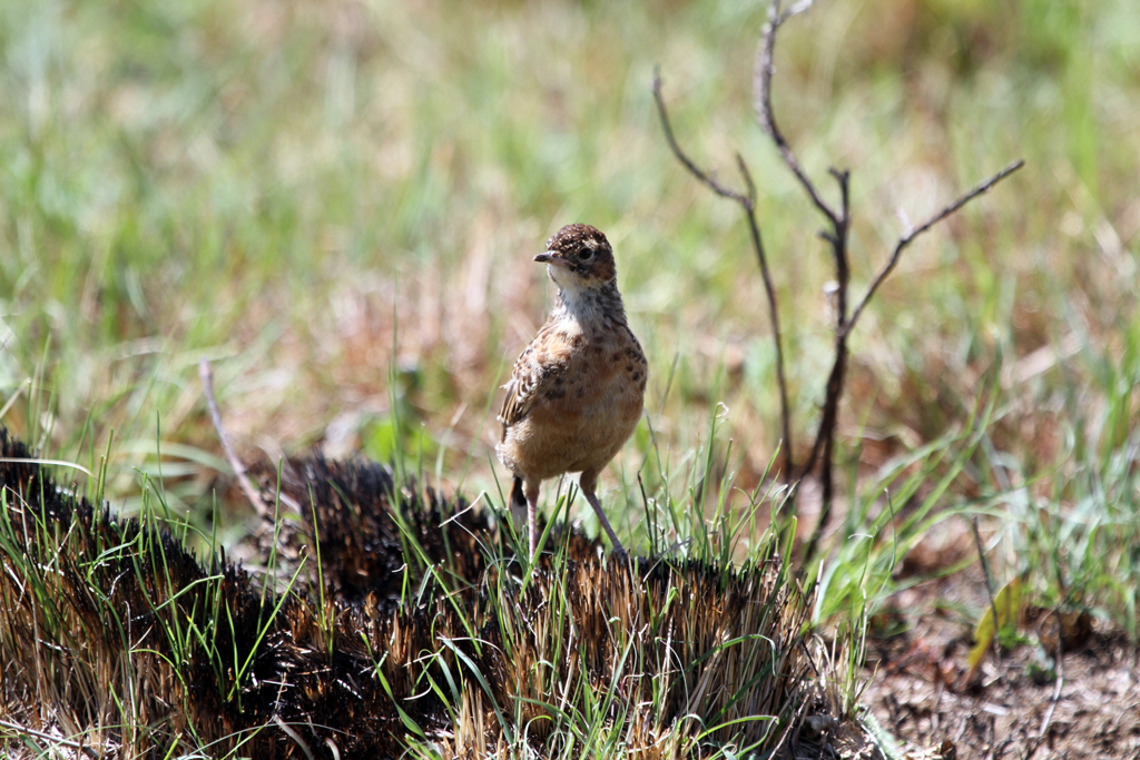 Spike-heeled Lark – juvenile / Wakkerstroom, South Africa