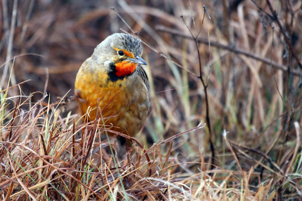 Cape or Orange-throated Longclaw (Colletti) / Rietvlei Nature Reserve, South Africa