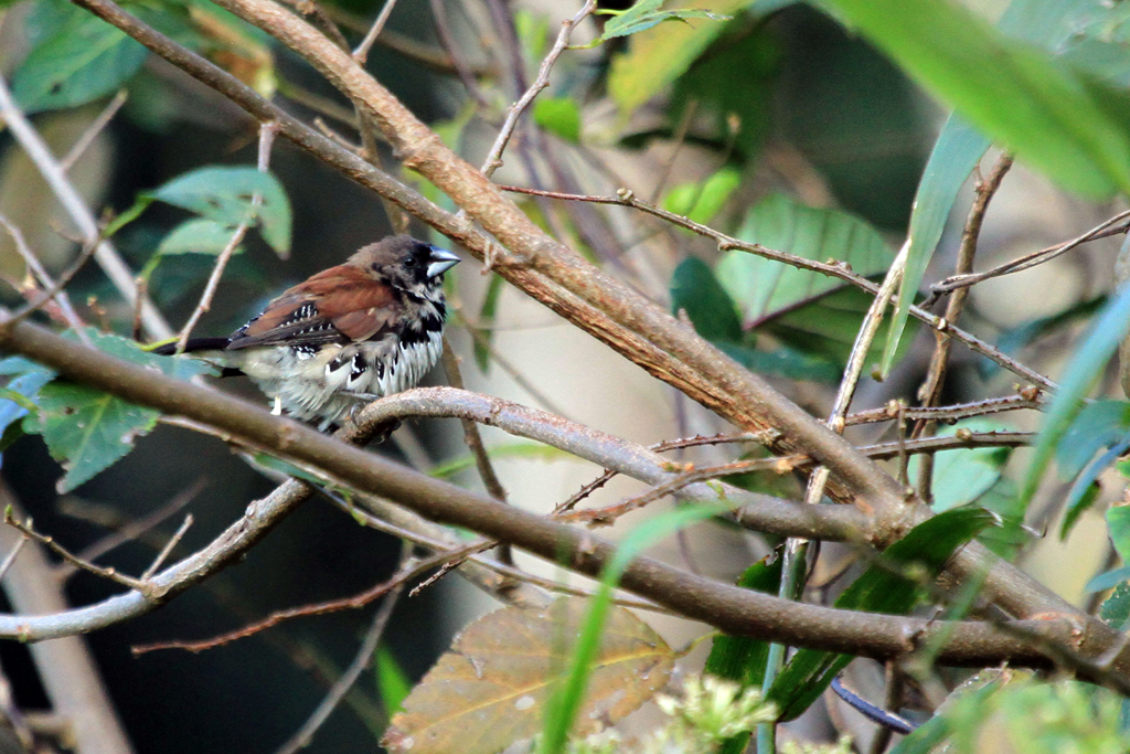 Red-backed Mannikin / Umdoni Forest, South Coast, KZN, South Africa