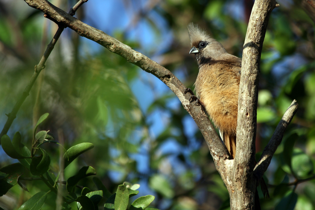 Speckled Mousebird (Transvaalensis) / Ocean View, South Africa