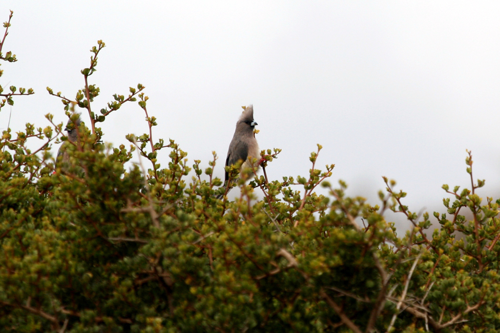 White-backed Mousebird / West Coast National Park, South Africa