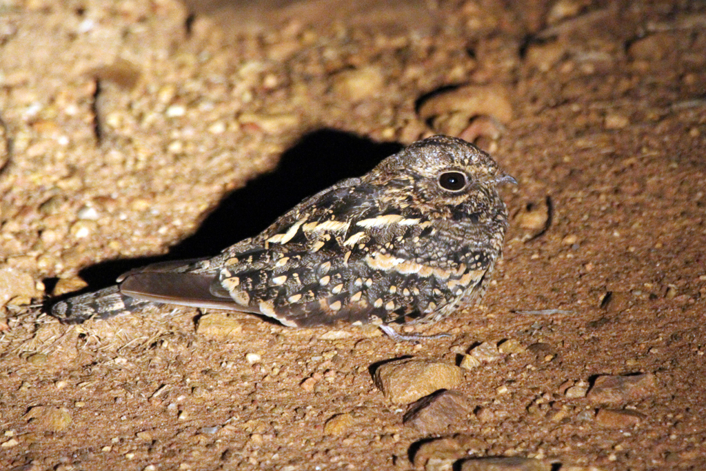 Square-tailed Nightjar / Punda Maria, Northern Kruger National Park, South Africa