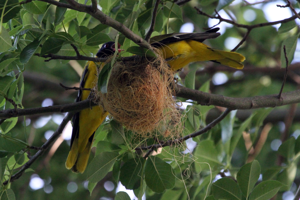 Black-headed Oriole / Pilansberg Game Reserve, South Africa