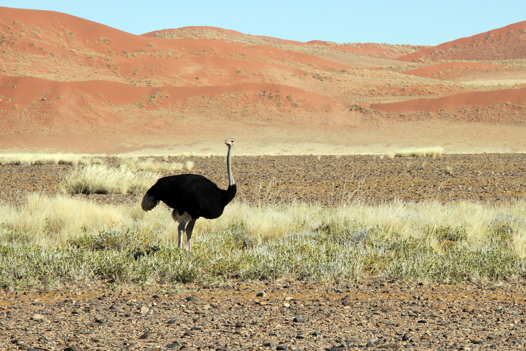 Common Ostrich / Sossusvlei, Southern Namibia