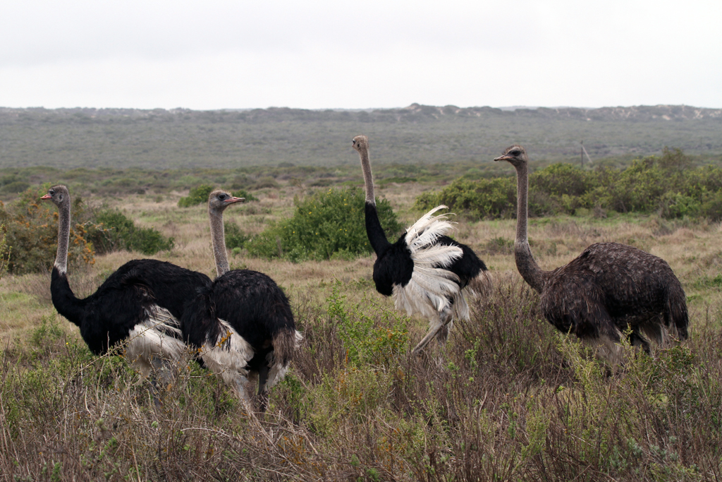 Common Ostrich / West Coast National Park, South Africa