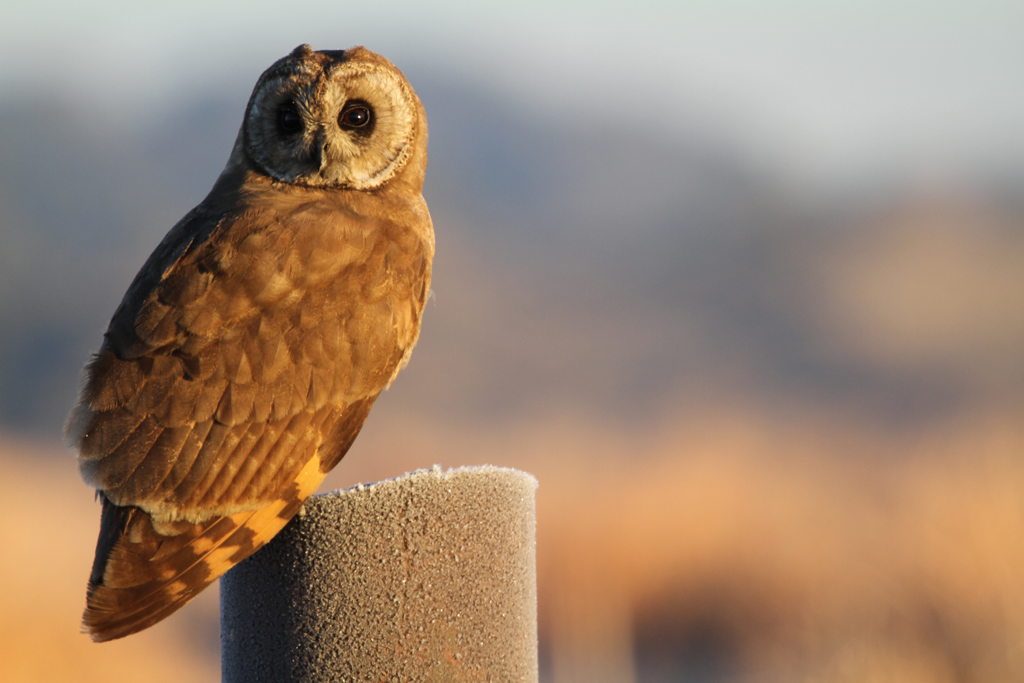 Marsh Owl / Marievale Bird Sanctuary, South Africa